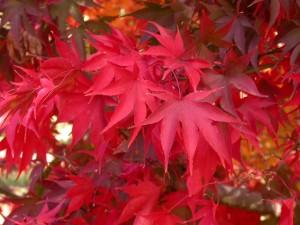 Acer-palmatum-heptalobum-Osakazuki