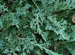 Juniperus Prince of Wales