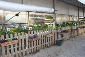 Planter hortalisa