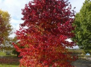 arbre dombra (Copiar)