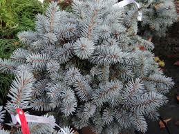 Picea Glauca Nana
