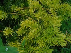 Taxus Aurea